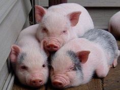 3 Little Pigs! Chubby, cuddly, and cute. Cute Baby Pigs, Cute Piglets, Cute Baby Animals, Animals And Pets, Funny Animals, Farm Animals, Cutest Animals On Earth, Afrique Art, Teacup Pigs