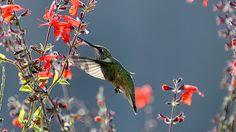 Hummingbird on Red Salvia