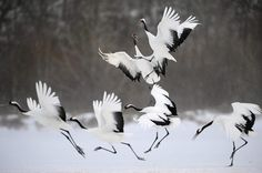 Red-crowned cranes in blustery conditions at Kushiro.