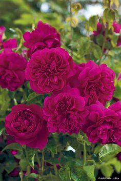 Rose 'Thomas à Becket'