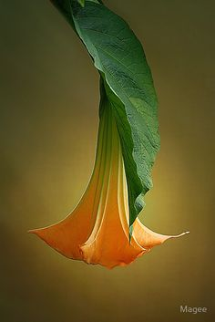 ~~Brugmansia | Angel's Trumpet, Datura by Magee~~