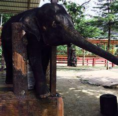 https://www.flickr.com/photos/151007465@N04/shares/7w5196   Suria Resorts  Malaysia's photos  Kuala Gandah Elephant Sanctuary