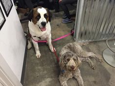 It's a ruff life  #CrossFit #puppies #labradoodle #saintbernard #mma #kickboxing #austin #bestfriends #dogsofinstagram #missy #tucker #dogfriendlygym by eliteatx