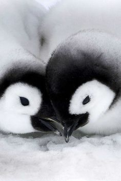 Young love blossoms between gorgeous little emperor penguins.