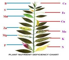 Handy dandy schematic on plant nutrient deficiencies! From Google + Growing Food Community.