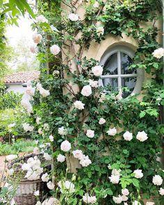 New Dawn roses are taking over! #patinafarm #ojai #farmlife #newdawnroses