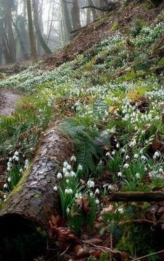 Woodland Bank where Snowdrops grow …. - Woodland Bank where Snowdrops grow . Forest Garden, Woodland Garden, Woodland Flowers, Forest Plants, Woodland Forest, Beautiful World, Beautiful Places, Bell Gardens, Walk In The Woods