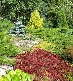 mm. tuivio, kelt.tuija. hopeakuusi, vuorenkilpi, kaukasianmaksaruoho Prunus, Flower Beds, Bergen, Stepping Stones, Yard, Gardening, Outdoor Decor, Flowers, Stair Risers
