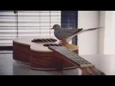 DOVE    PLAYING    GUITAR