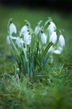 Beautiful snowdrops with the wonderful contrast of the lush green grass!