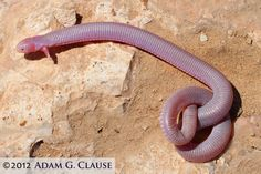 The Mexican Mole Lizard from Baja California is the only existing 2 limbed animal. (There are other 2 limbed animals in the fossil record, but they're all extinct.) It's a burrowing animal.