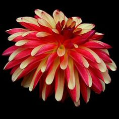 Fidalgo Julie - Novelty Dahlia, orange and red - picture Dan's Dahlias
