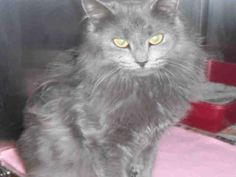 What if I told you that if you played your cards right, you could walk out the door with this beautiful kitty in tow? Well, it's your lucky day, because a cat named Jackie is exactly what you need, and I am that cat! I am a spayed female, gray Domestic Longhair and I am about 1 year old. (ID#A077842) Nebelung Cat, Play Your Cards Right, Walk Out The Door, Kinds Of Cats, Friesian Horse, Cat Names, Cat Breeds, 1 Year, Cats And Kittens