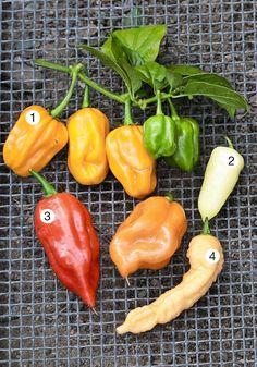 Chililajikkeissa riittää muotoja ja värivalikoimaa. Haluaisitko kasvattaa mietoja vai tulisia chilejä? Vai jotain siltä väliltä? Viherpiha listasi maukkaimmat, kuumimmat ja kiintoisimmat chililajikkeet. Grow Your Own Food, Stuffed Peppers, Vegetables, Garden, Kitchen, Plants, Garten, Cooking, Stuffed Pepper