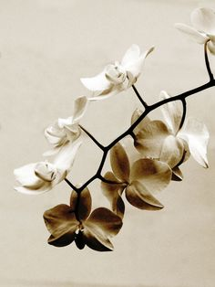 Minimalist Botanical Photograph Rusty White Orchid -Sepia Brown Flower Dreamy Decor Print via Etsy