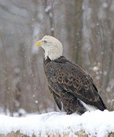 Majestuosa águila calva