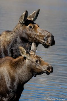 A cow moose and her half-grown calf. The moose (Alces alces) is the largest species in the deer family. (Bob Bailey) the Moms Animal 2, Mundo Animal, Beautiful Creatures, Animals Beautiful, Photo Animaliere, Deer Family, All Gods Creatures, Wild Creatures, Alpacas