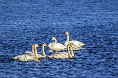 Trumpeters - Trumpeter swans in Necedah National Wildlife Refuge