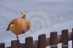 ruddy-shelduck-winter-landscape-tadorna-ferruginea Winter Landscape, Winter Scenery