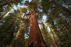 sequoias trees   The Big Picture: Sequoias Trees