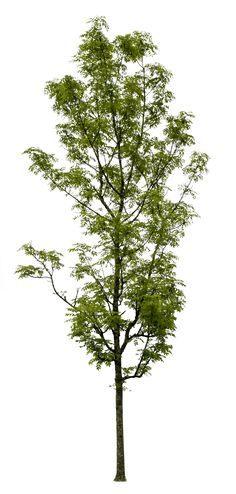 Fraxinus excelsior 2572 x 5386 pixels, tree PNG image, with transparent background, ready to use in photoshop. Tree Photoshop, Parks, Tree Plan, Landscape Materials, Celtic Tree, Interior Rendering, Deciduous Trees, Tree Silhouette, Trendy Tree