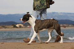 Apprennez à votre chien à marcher au pied quand vous lui en donnez l'ordre en suivant nos conseils simples et rapides à appliquer de chez vous ! Pet Corner, Dog Whistle, Cane Corso, Basset Hound, Border Collie, Beagle, Animals And Pets, Dog Training, Chihuahua