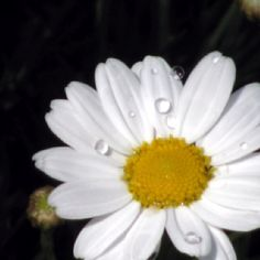 Dew drops on a daisy