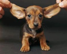 What big ears you have..........the better to hear you with, he said.