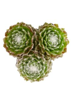Sempervivum arachnoideum cv. 'Cebenese', native to higher altitudes in Europe, forms delicate rosettes to 3″ in diameter with pale green leaves. Leaves have very ciliate (hairy) margins, often totaly obscuring …