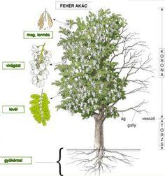 AtLiGa - Képgaléria - Tanuláshoz - Képek az erdőhöz Kids Education, Environment, Parenting, Herbs, Fall, Plants, School, Early Education, Autumn