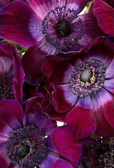 "Midnight Garden: In the ~ Fleurs Foncées, ""Anemone Coronaria,"" by Ann Garrett. Dark Flowers, Exotic Flowers, My Flower, Purple Flowers, Flower Art, Flower Power, Beautiful Flowers, Cactus Flower, Yellow Roses"