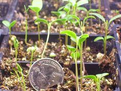 Growing milkweed from seeds