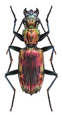 Cicindela Cosmodela Aurulenta Insectarium Beetle