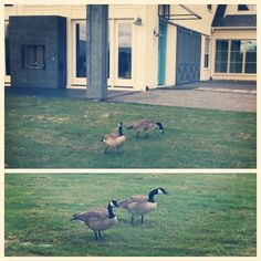 Say hello to our first visitors to the new FHF Ranch! We don't have names yet for these two geese -- any good suggestions?! #farmhousefresh #ranch #geese #firstvisitor #texas #animallovers #fhf #FHFranch