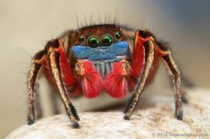 A male North American Habronattus jumping spider shows off his brightly colored face, legs and knees as he prepares to flash his kaleidoscope of colors during an elaborate mating dance ritual. Tiny Spiders, Reptiles, Amphibians, Itsy Bitsy Spider, Jumping Spider, A Bug's Life, Bugs And Insects, Cat Memes, Beautiful Creatures