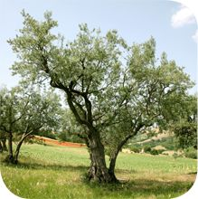 Adopt an olive tree and get 2 packages of fresh olive oil from your tree/year.