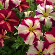 Cha-Ching Cherry Petunia from Jackson and Perkins