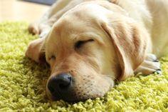 Labrador Retriever - 17 Wochen