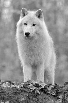 White wolf  Beautiful. pinned with #Bazaart - www.bazaart.me