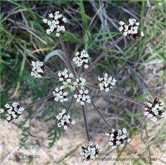 Squaw Root - Yampah - Wild Carrots