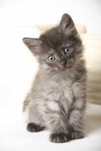 Beautiful Siberian kittens - For Sale