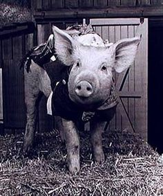 From Green Acres  Ziffle the Pig