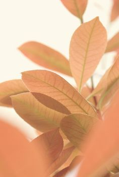 Peach | Apricot | Pastel Orange | Leaves | Nature Photography