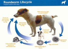 Roundworms, or ascarids, are the most common intestinal parasites in both puppies and kittens. There are two types of these worms, and they are Toxascaris leoni Vet Tech Student, Intestinal Parasites, Continuing Education, Pet Health, Pet Shop, Pet Care, Funny Dogs, Animal Pictures, Your Dog