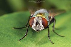 Musca domestica, conhecida pelos nomes comuns de mosca-doméstica, mosca-de-casa e mosquito, é uma espécie de díptero braquícero da família Muscidae. É um dos insectos mais comuns e uma presença hab...