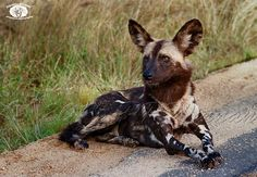 Endangered African wild dog relaxing on the roadside in South Africa.by #wildographer Peter Win/ PRWinnan Photography