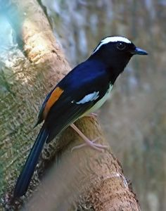 White-browed shama  (Copsychus luzoniensis) is a species of bird in the family Muscicapidae. It is endemic to the Philippines.