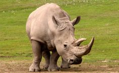 """Rhinoceros: My horns look like an upside down eagle's beak! White rhinos are the second largest land mammal and their name comes from the Afrikaan's, a West Germanic language, word """"weit"""" which means wide and refers to the animal's muzzle. Also known as the square-lipped rhinoceros, white rhinos have a square upper lip with almost no hair. The majority (98.8%) of white rhinos occur in just four countries: South Africa, Namibia, Zimbabwe, and Kenya."""