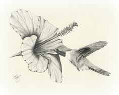 Blumen zeichnen Superb pencil drawings of flowers Drawing Sketch Artwork Wildlife Chook Hummingbird Cool Pencil Drawings, Pencil Drawings Of Flowers, Bird Drawings, Animal Drawings, Drawing Sketches, Sketch Art, Drawing Flowers, Hibiscus Drawing, Drawing Artist