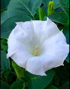 moonflower seeds or plant